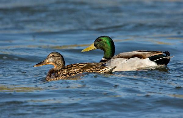 Geese & Ducks -ברוזים ואווזים