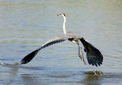 אנפה אפורה /  Grey heron  /  Ardea Cinerea