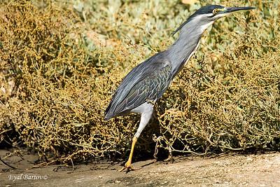 אנפית מנגרובים / Striated Heron / Butorides striatus