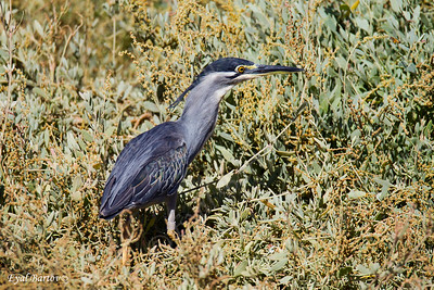 אנפית מנגרובים / Striated Heron / Butorides striatus