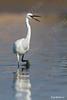 לבנית קטנה / Little Egret / Egretta garzetta