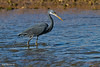לבנית ים סוף / Western Reef-Egret  / Egretta gularis