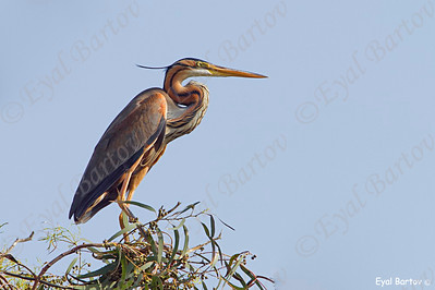 Purple Heron	Ardea purpurea -אנפה ארגמנית
