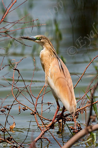 אנפית סוף / Squacco Heron / Ardeola ralloides