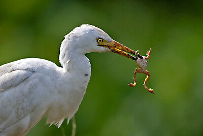 אנפית בקר  /  Cattle Egret / Bubulcus ibis