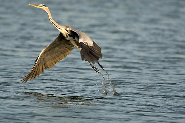 Herons & Egrets -אנפות