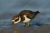 חופמי צווארון / Common Ringed Plover / Charadrius hiaticula