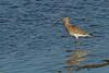 Curlew- חרמשון גדול