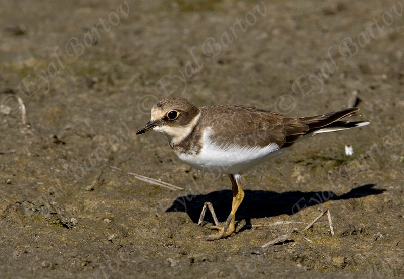 Little Ringed Plover - חופמי גדות