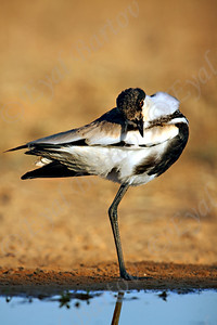 Spur-winged Lapwing -סיקסקים -Vanellus spinosus