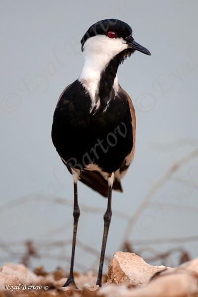 spur-winged plover (Vanellus spinosus) - סיקסק