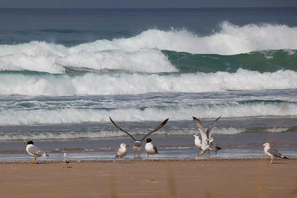 Terns   שחפיות