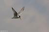 שחפית גמדית  /  Little Tern  /  Sterna albifrons