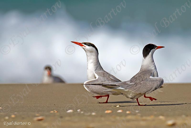 Common tern - שחפית ים