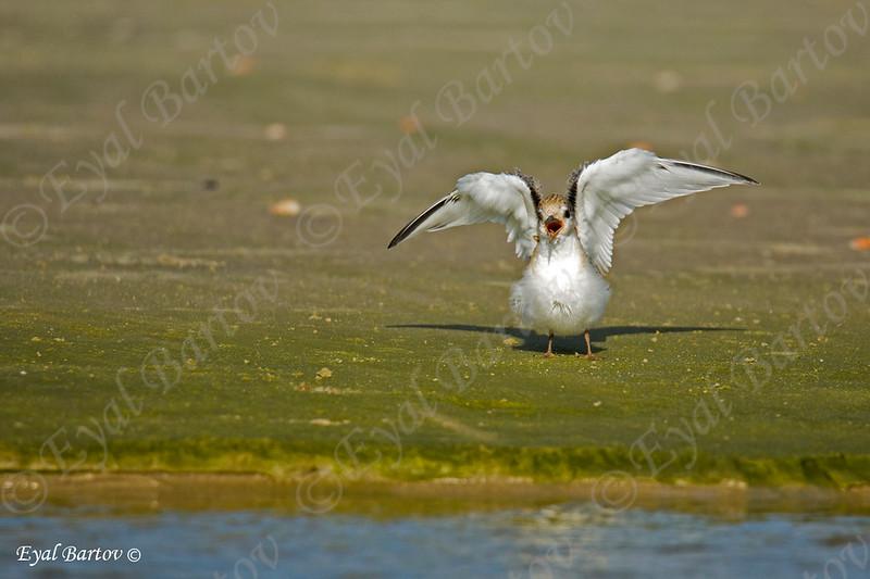 Little Tern - שחפית גמדית  3