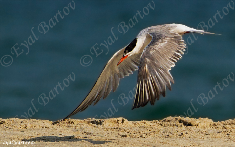 שחפית ים / Common Tern / Sterna hirundo