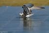 מרומית לבנת כנף  / White-winged Tern  / Chlidonias leucopterus