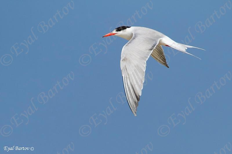 שחפית ים / Common Tern / Sterna hirundo