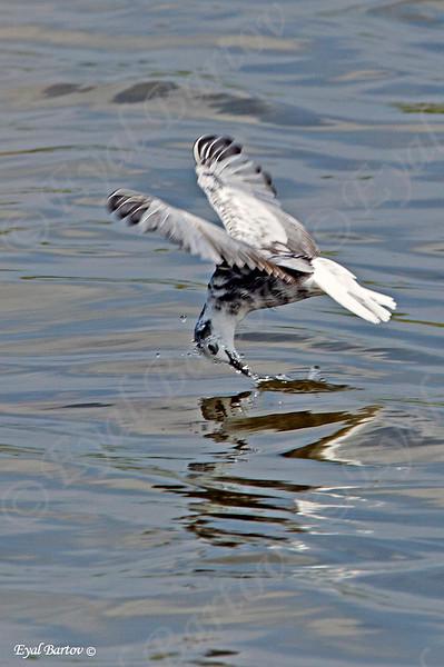 מרומית לבנת כנף - White -winged Tern
