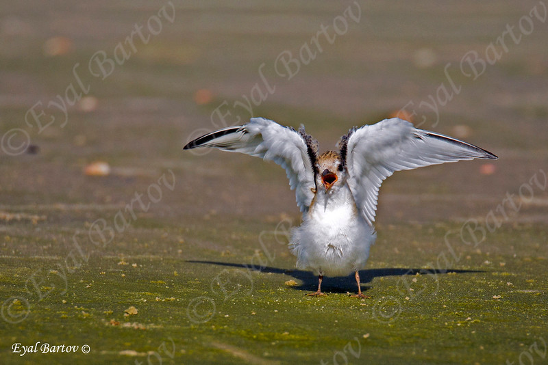 Little Tern - שחפית גמדית
