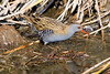 Water Rail (Rallus aquatics) רלית המים