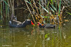 Common Moorhen (Gallinula chloropus) סופית מצויה