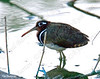 Greater Painted-snipe (Rostratula benghalensis) חרטומנית בנגלית
