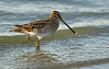 חרטומנית ביצות Common Snipe (Gallinago gallinago)