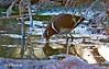 Greater Painted-snipe (Rostratula benghalensis) חרטומנית בנגלית