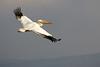 Great White Pelican (Pelecanus onocrotalus) - שקנאי מצוי