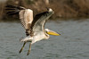 Great White Pelican (Pelecanus onocrotalus) - שקנאי מצוי