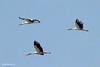 White Stork (Ciconia ciconia) חסידה לבנה