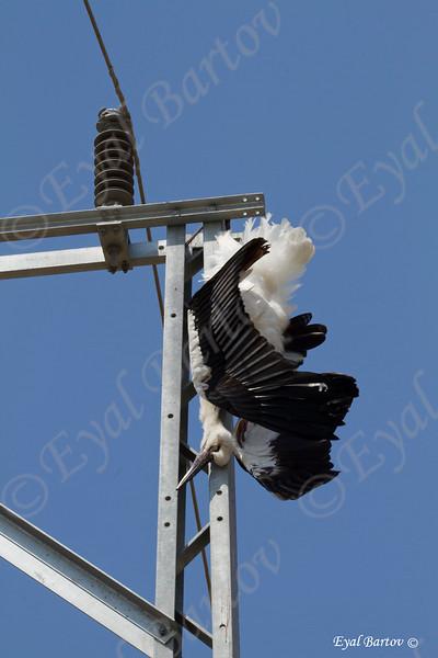 electrocuted White Stork (Ciconia ciconia) חסידה לבנה מחושמלת