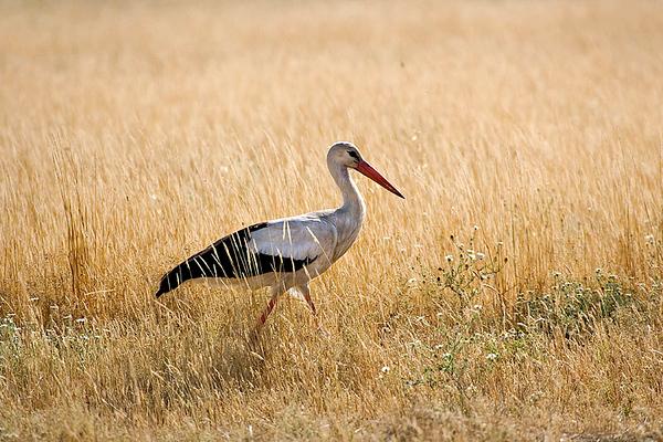 Stork -חסידות