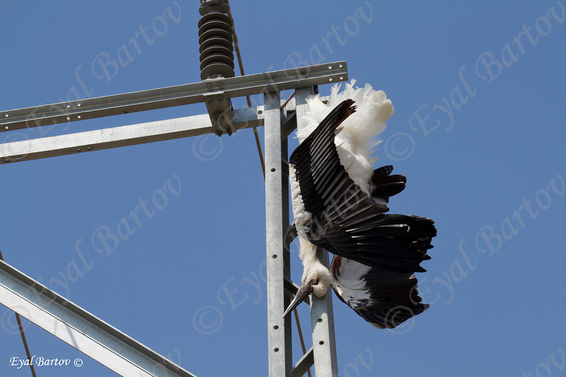 electrocuted White Stork (Ciconia ciconia) חסידה לבנה מחושמלת