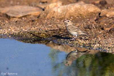 דרורית קצרת אצבעות / Pale Rock-Sparrow /Petronia brachydactyla