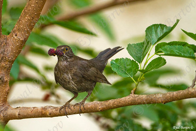 שחרור - Common Blackbird (Turdus merula) 6