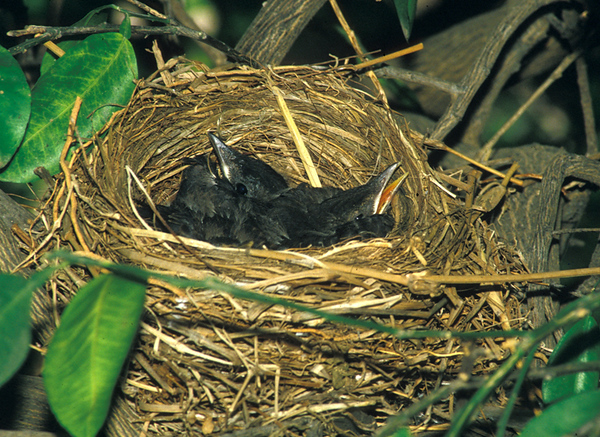 שחרור - Common Blackbird Nesting (Turdus merula)