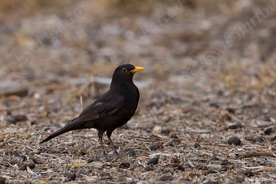 שחרור - Common Blackbird (Turdus merula) 15