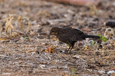 שחרור - Common Blackbird (Turdus merula) 18