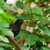 שחרור - Common Blackbird (Turdus merula) 5