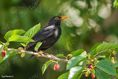 שחרור - Common Blackbird (Turdus merula) 10