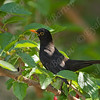 שחרור - Common Blackbird (Turdus merula) 8