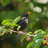 שחרור - Common Blackbird (Turdus merula) 9