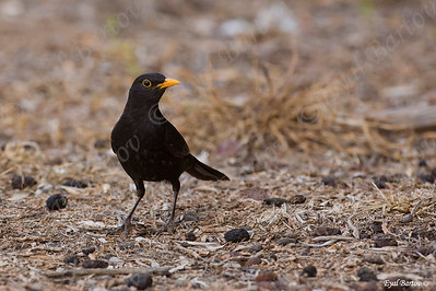 שחרור - Common Blackbird (Turdus merula) 13