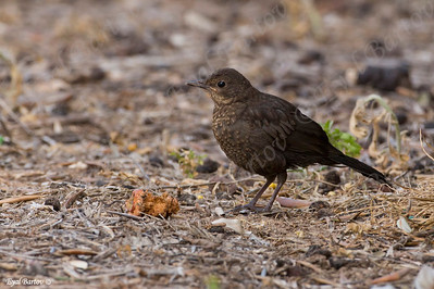 שחרור - Common Blackbird (Turdus merula) 19