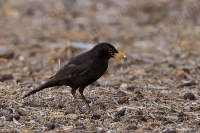 שחרור - Common Blackbird (Turdus merula) 16