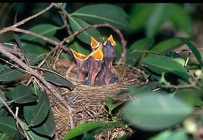 2 שחרור - Common Blackbird (Turdus merula) Nesting