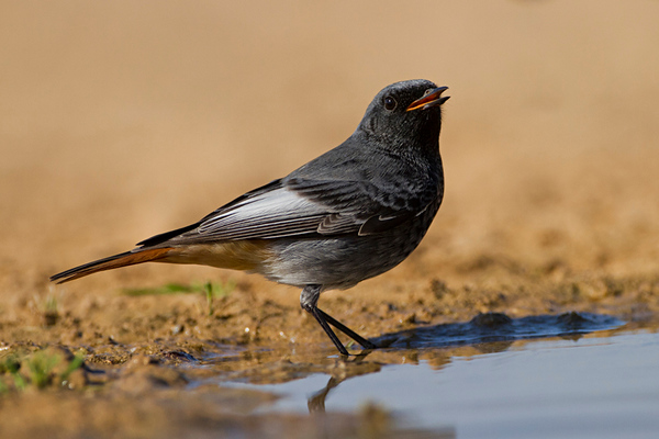 Black Redstart (Phoenicurus ochruros)  - חכלילית סלעים