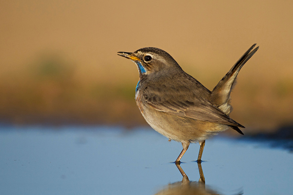 Bluethroat -כחול חזה
